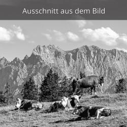 Kälber vor der Westlichen Karwendelspitze