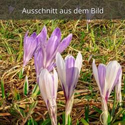 Krokusse lila und weiß