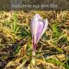 Krokus lila weiß Alpen
