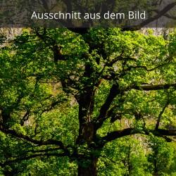 Ahorn - Baum