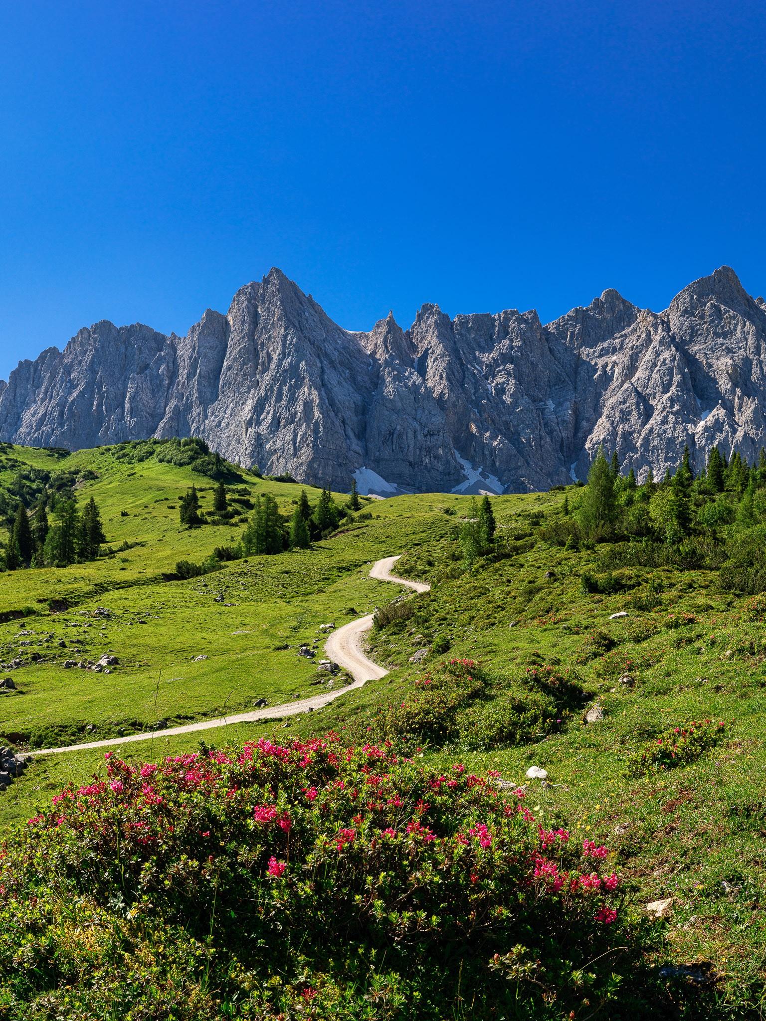 Almrosen an der Ladizalm. Die Almrosen blühen. Auf dem Bild ist der Weg zur Falkenhütte. Der markante Berg auf der linken Seite ist die Laliderer Spitze (2588m), rechts daneben die Ladiztürme und weiter rechts die Bockkarspitze (2589m).
