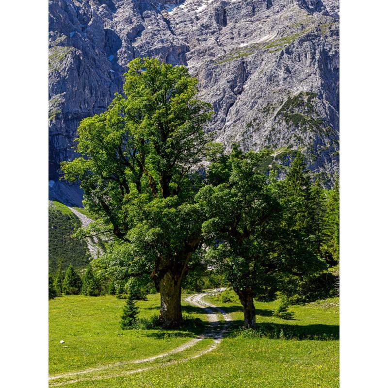 Der Weg zwischen den Ahornbäumen - Ahornallee
