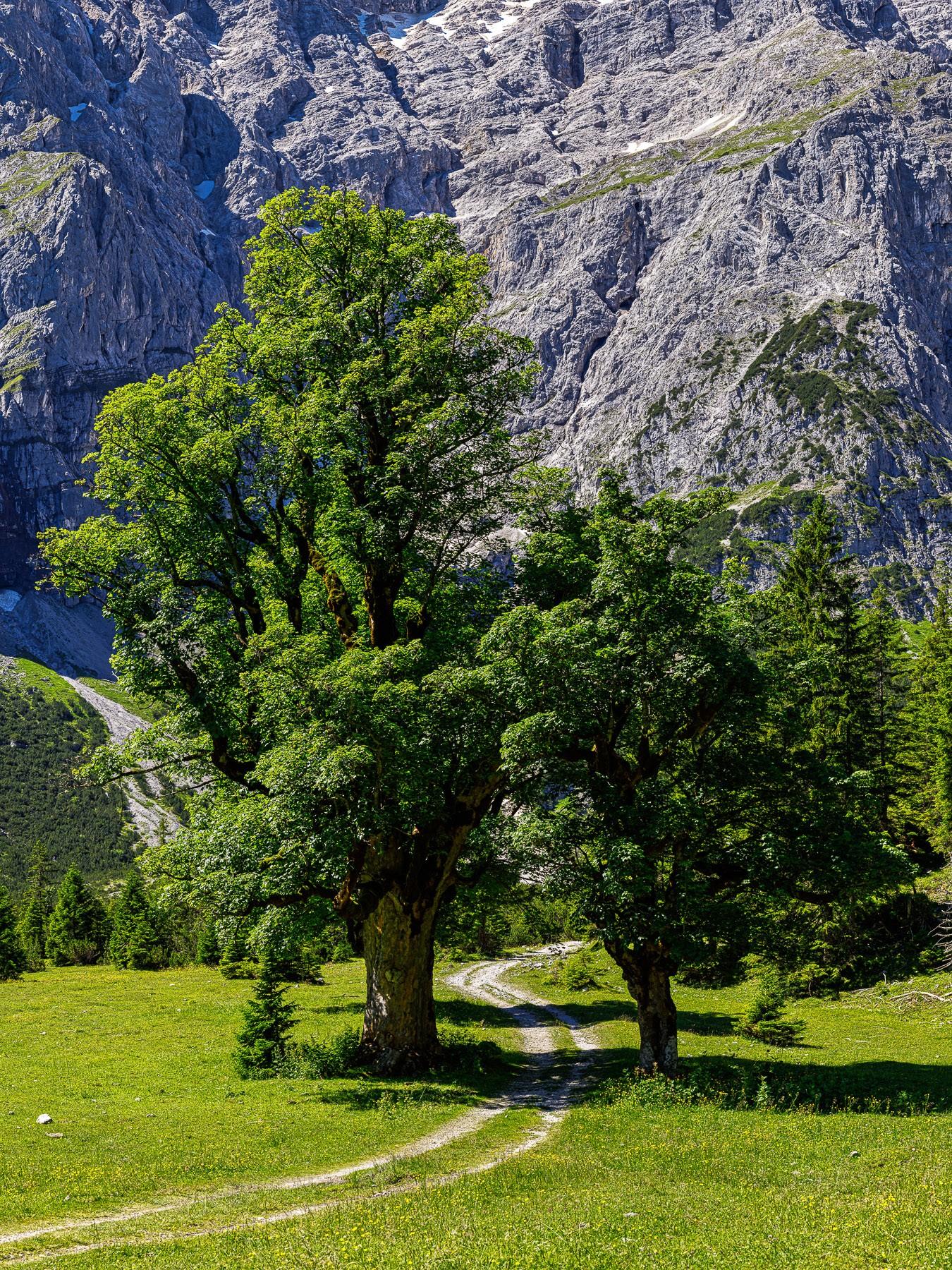 Ahornallee am Kleinen Ahornboden. Der Weg führt zwischen zwei schönen alten Ahornen hindurch Richtung Karwendelhaus.