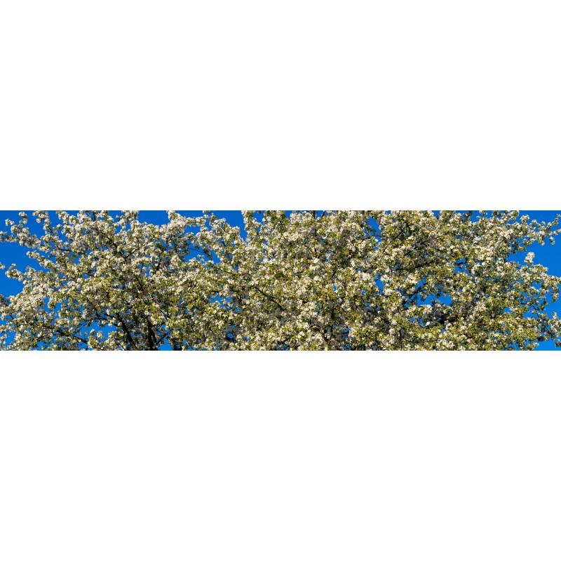 Apfelblüten - Wilder Apfelbaum
