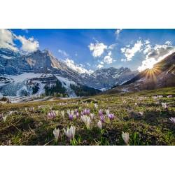 Alpen Krokus - Engalm - Karwendel