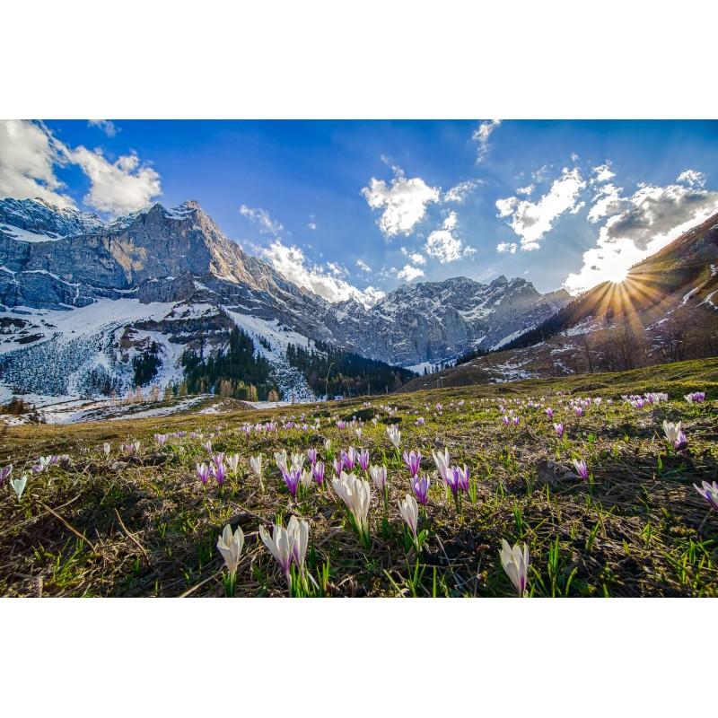 Alpenkrokus - Engalm