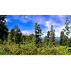 Bergwald: Zirben und Almrosen