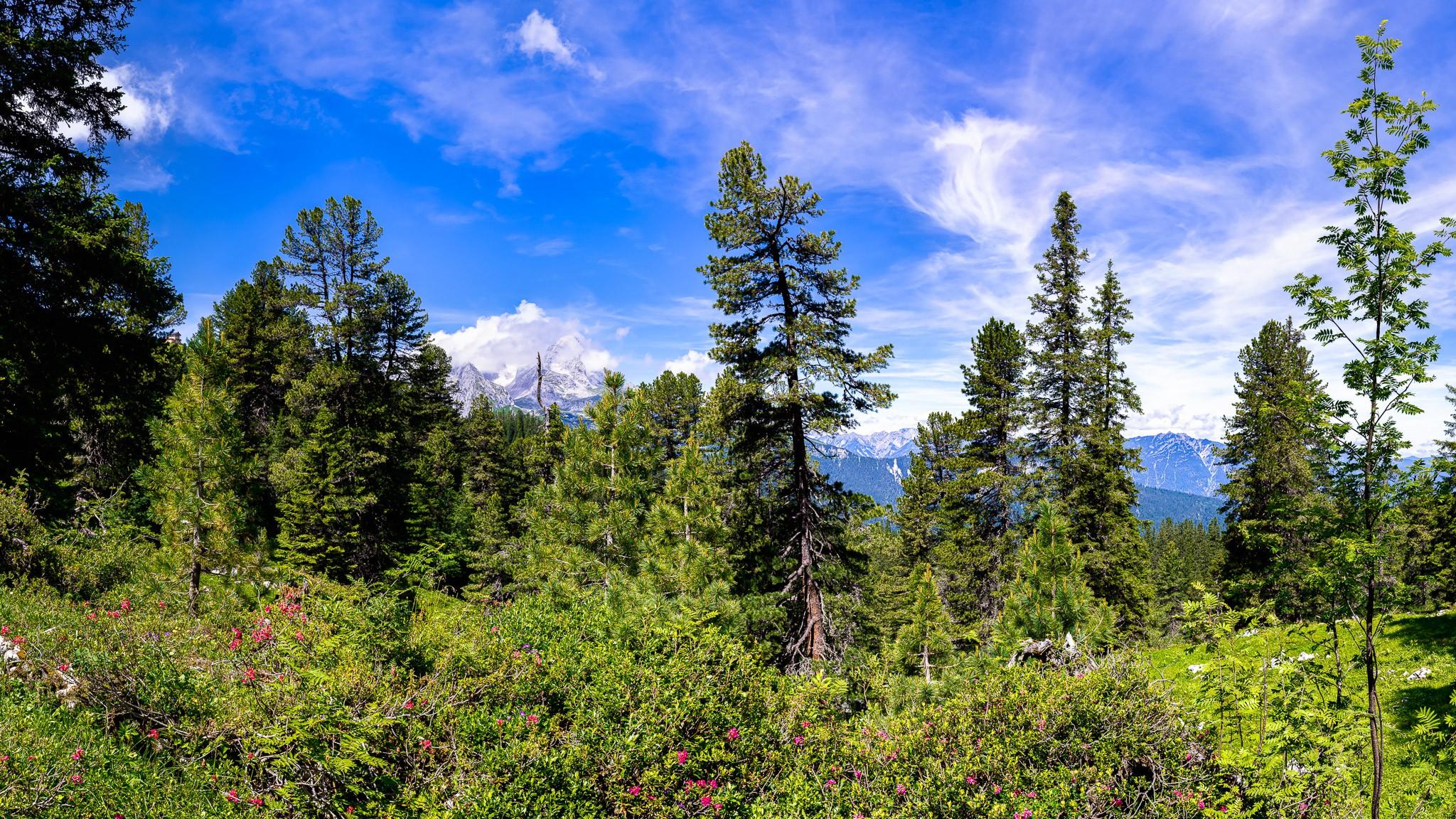 Der Bergwald am Schachen ist mit vielen Zirbelkiefern gespickt. Zwischendirn ein paar Almrosen mit Blick auf die Alpspitze und die Kramerspitz.