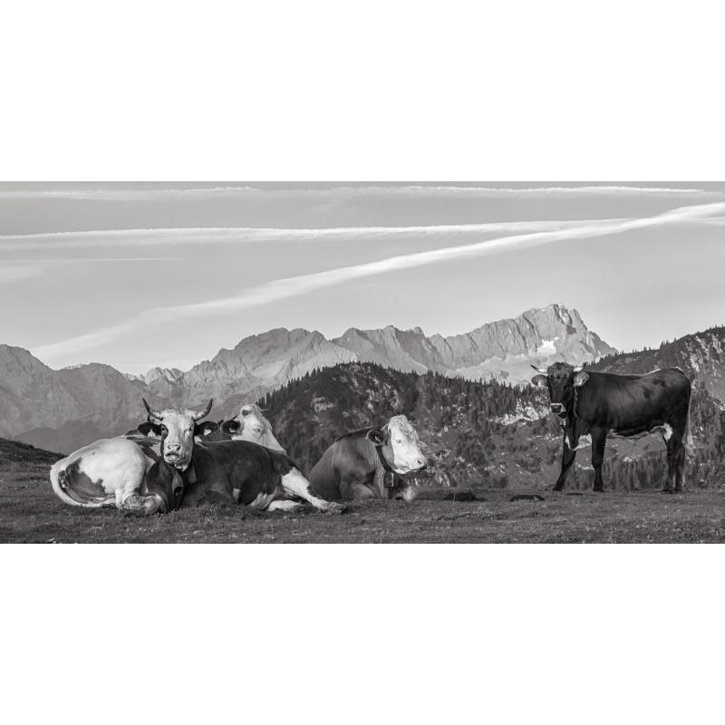 Zugspitze Kälber schwarz-weiß