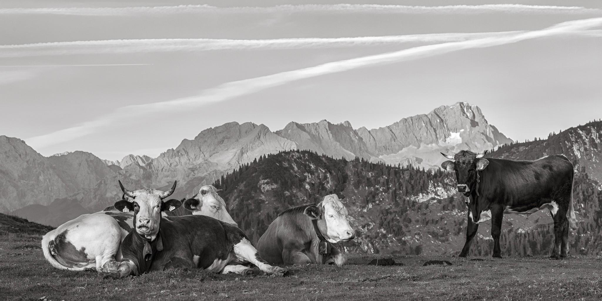 Zugspitze Kälber - Morgenruhe. Kühe auf der Alm - Simetsberg