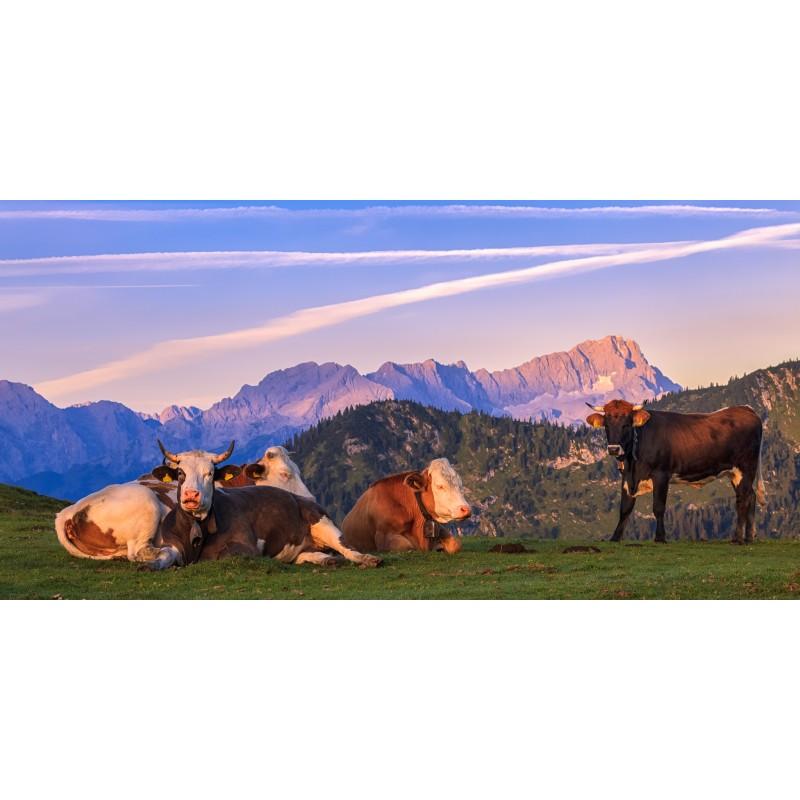 Zugspitze Kälber - Morgenruhe