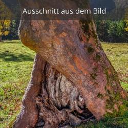 Ahornstamm mit Baumhöhle