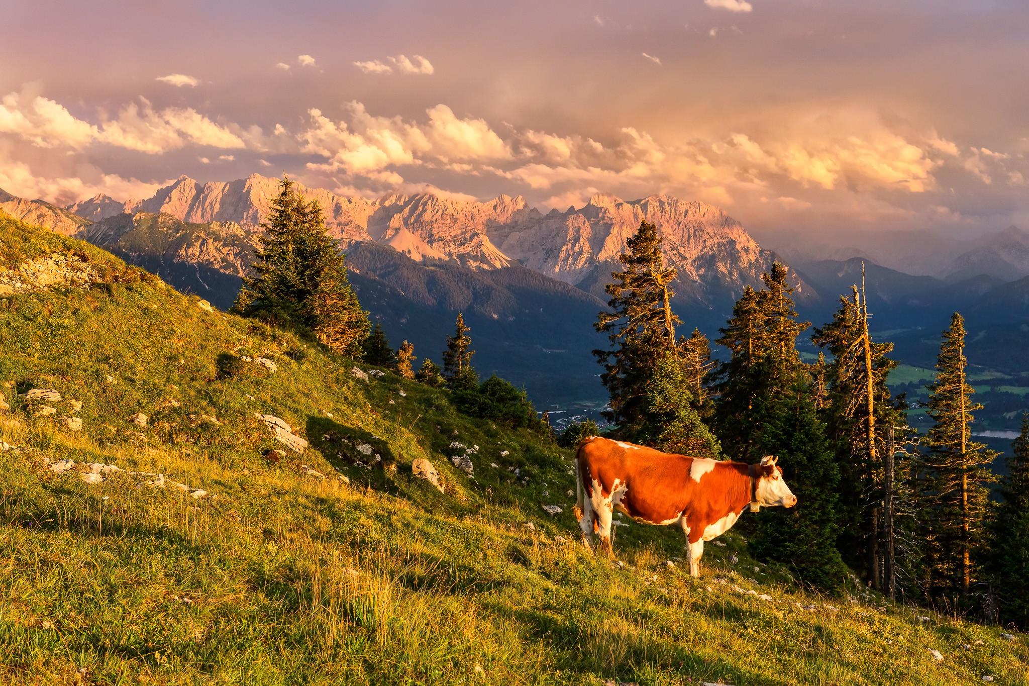 Die Sonnenanbeterin - Kuh am Abend bei Abendsonne