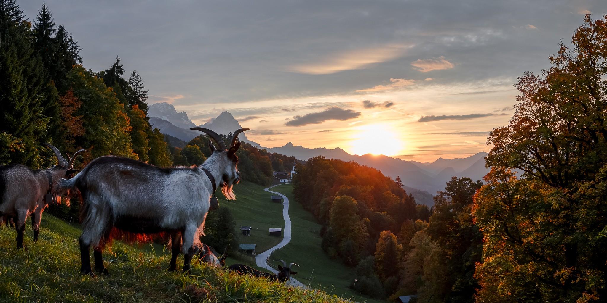 Die Abendsonne kommt zwischen den Wolken hindurch und dann schauen die Ziegen auch noch beim Fotoshooting vorbei. Sonnenuntergang mit Berglandschaft in den bayerischen Alpen bei Garmisch-Partenkirchen.