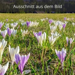 Krokuswiese weiß und lila