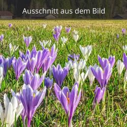 Krokusse weiß und lila