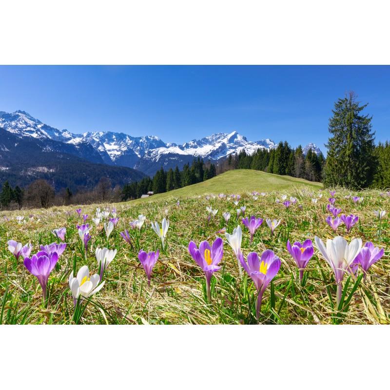 Krokusse vor der Alpspitze und Zugspitze