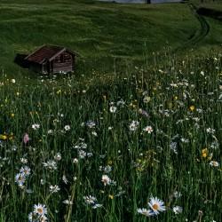 Margeriten - Blumenwiese bei Nacht