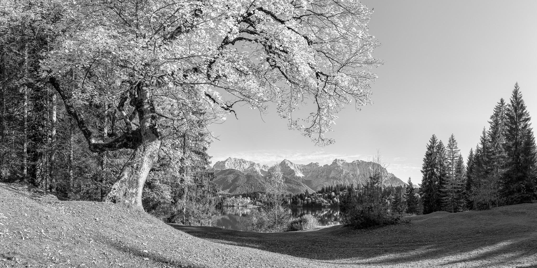 Barmsee - Ahorn auf der Liegewiese - schwarz weiß