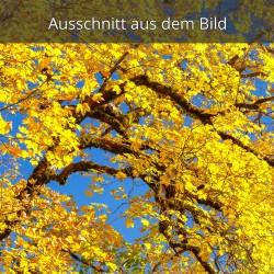 Goldgelber Ahorn im Herbst